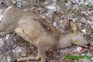 Незаконно охотились на косуль в Курганской области