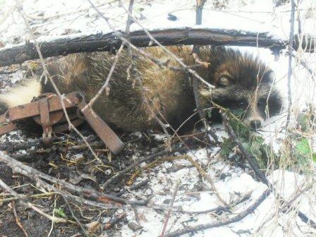 Из капкана спасли енота в Далматово