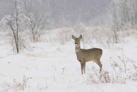 У браконьеров под прицелом… северный олень