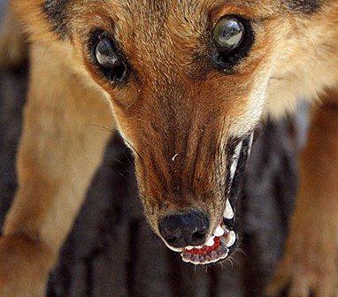 Люди сообщают о нападении бешеных  животных